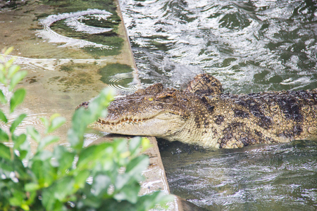 rafter: Crocodile in the river