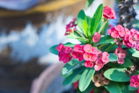 corona de espinas: Red closeup Euphorbia