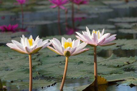 jardines con flores: Tres de loto en el río Foto de archivo
