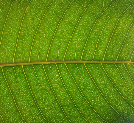 mongo: Green striped mongo leaves texture background