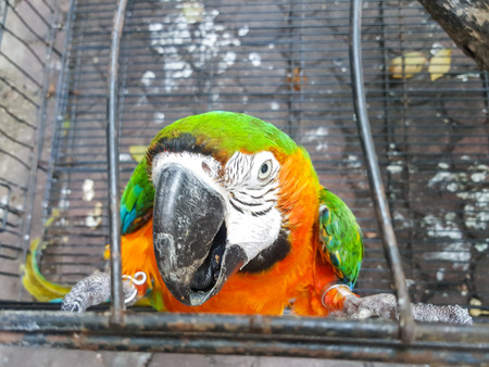 imprison: colorful Macaw parrot in the cage Stock Photo