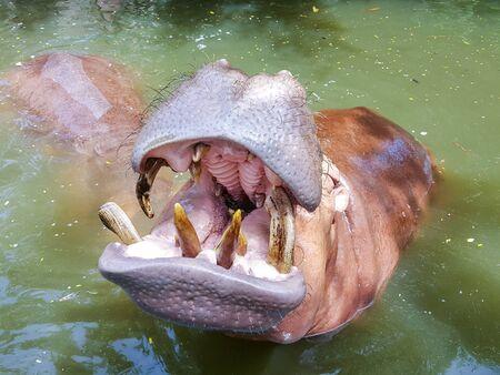 herbivore: hippopotamus in the river Stock Photo