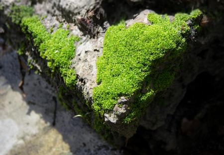 lichen: Green lichen fungus on rough stone
