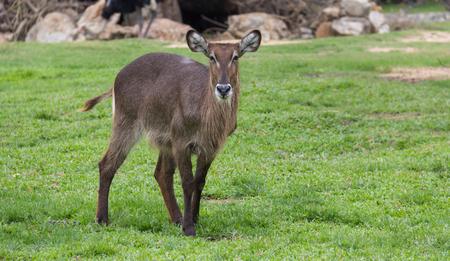 grey ox in the garden Stock Photo