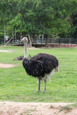 ostrich: avestruz en el desierto