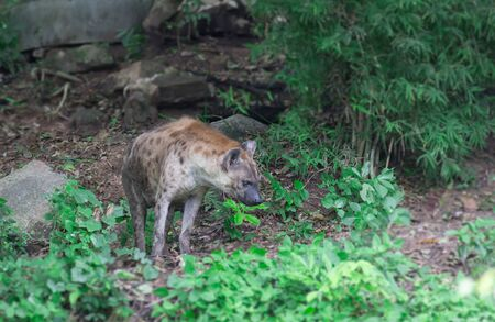 hienas: hyenas in the wildlifede Foto de archivo