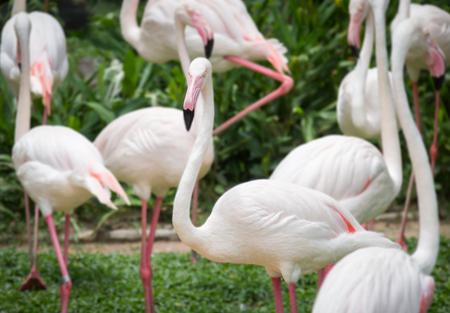 the ornithology: Close up white flamingo,