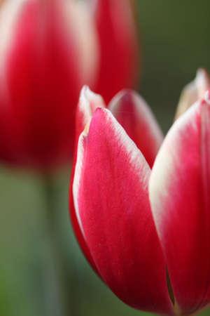 Macro image of red tulips in the garden Stock Photo - 4993526