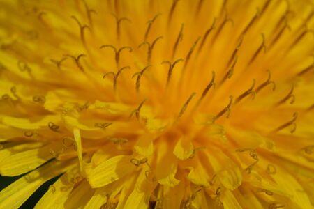 Macro image of yellow dandelion. extreme close-up  photo