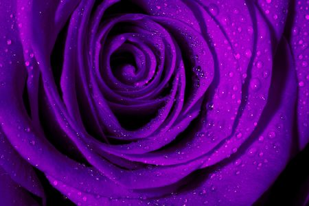 Macro image of dark purple rose with water droplets