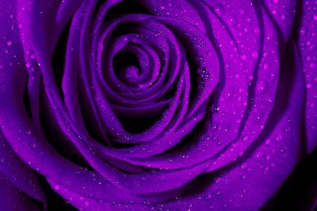 flor morada: Macro imagen de rosa p�rpura oscuro con gotas de agua