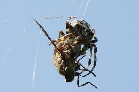 gadfly: Spider eating gadfly Stock Photo
