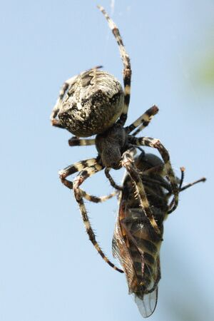 horsefly: Spider eating horsefly