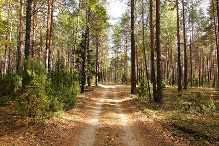 paisaje rural: Carretera en un bosque de pinos