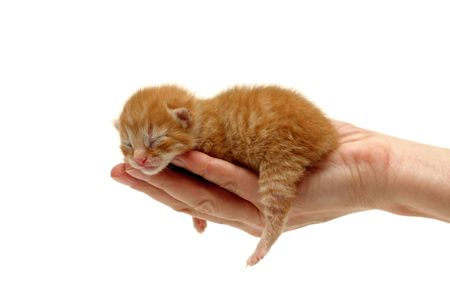 New born kitten in hand isolated on white background. Two days from birth Stock Photo