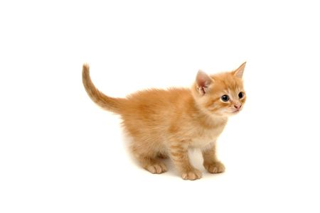 Cute ginger kitten looking upwards isolated on white background