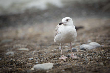 pebles: White seagull looking left on the pebble beach Stock Photo