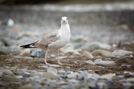 pebles: Seagull looking at camera