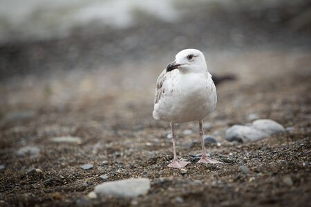 pebles: Seagull looking left on the pebble beach