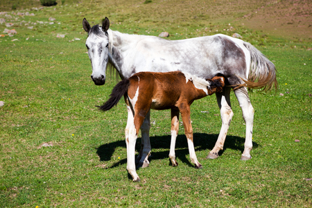 skewbald: Grey horse feeding skewbald colt