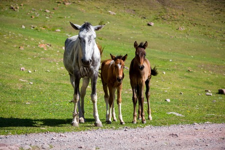 Grey horse and two colts looking at camera photo