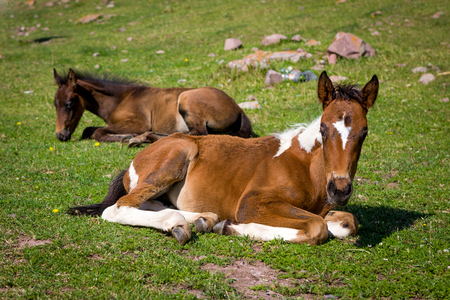 piebald: Cute colts lying on green grass