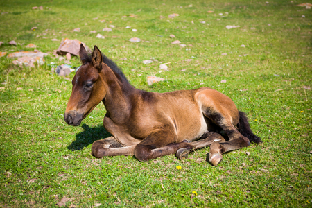Cute foal lying on the grass
