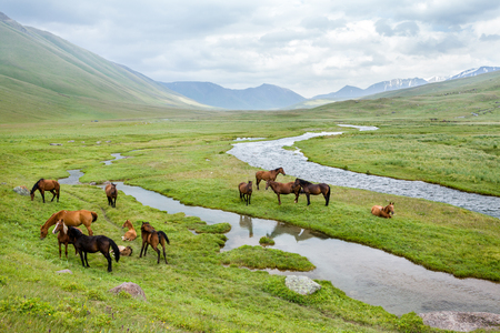 pasturage: Group of horses on summe pasturage in mountains