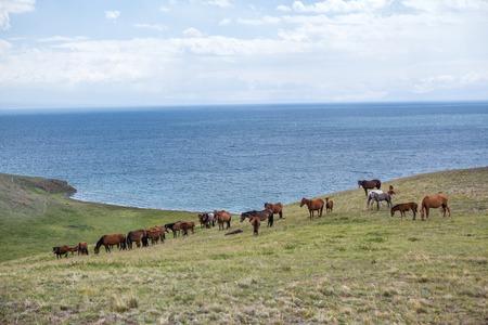 Grazing horses at the lake Song Kul, Tien Shan, Kyrgyzstan photo