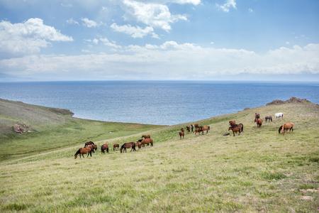 Big herd of horses at the lake Song Kul, Tien Shan, Kyrgyzstan photo