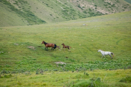 piebald: Running horses with foals in the mountains