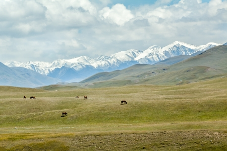tien shan: Group of horses grazing in high snowy mountains, Tien Shan