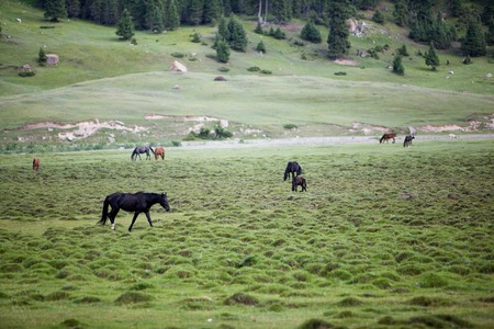 Horses pasturing and feeding grass in the field photo