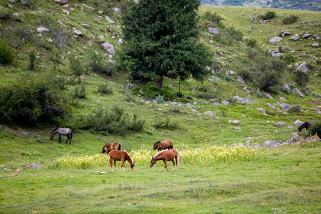 tien shan: Grazing horses on the colourful field
