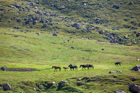 tien shan: Herd of horses walking in mountains of Tien Shan