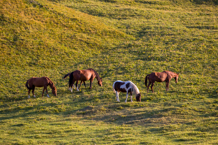 piebald: Group of horses feeding grass in mountains