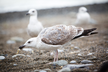 White seagull eating something on the pebble beach Фото со стока