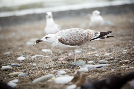 pebles: White seagull eating something on the pebble beach Stock Photo