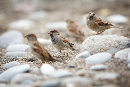 pebles: Sparrows on pebble beach Stock Photo
