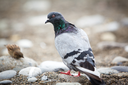 pebles: Pigeon looking at camera on pebble beach Stock Photo