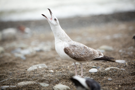 pebles: Seagull singing pebble beach