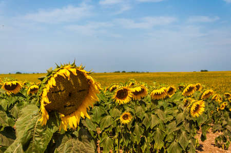 Terrific scenery of Provence gives you in the summer terrific pictures to captare  The huge fields of sunflowers and lavender make Valensol a photographic paradise  I was  able to find a sunflower which was given a face by someone of the previous visitors photo