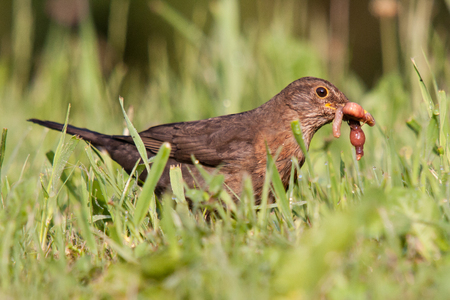 A juvenile female common blackbird (Turdus merula) catching prey (earthworms Lumbricus terrestris) in a green grass meadow. Standard-Bild