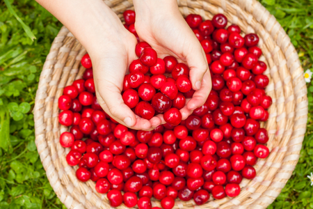 A close up of a basket full of bright red freshly picked early sweet cherries in may and some fresh fruit in childrens hands. A sweet and healthy seasonal snack, local and organic Prunus tree.