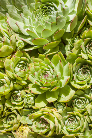 Sempervivum is a flowering plant in the Crassulaceae family, commonly known as houseleeks. Other common names include liveforever and hen and chicks. Green plants in a dry and sunny area. Standard-Bild