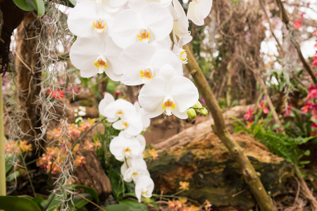 Different species of orchids in a tropical garden paradise. White Phalaenopsis in bloom, wood and plants in the background. Standard-Bild