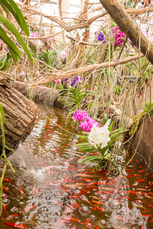 Different species of orchids in a tropical garden paradise. Red koi fish in a pond, surrounded by exotic plants in bloom, moss and dry wood.