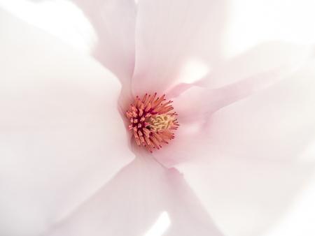 Closeup of a magnolia flower in bloom. Bright pink petals abstract macro shot. Standard-Bild
