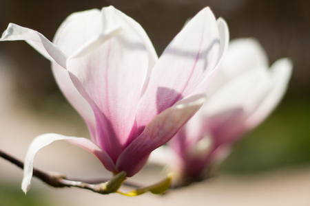 Close up of two magnolia flowers in bloom. Purple, pink and white on a green background.