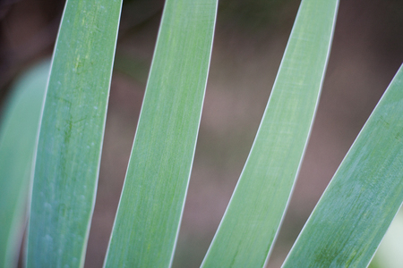 Abstract Iris leaves. Light pastel green colored leaf close up on a brown background.